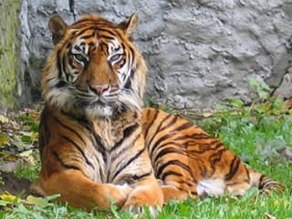 Sumatraanse Tijger.…