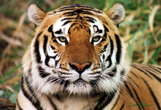 bengaalse tijger.jpg