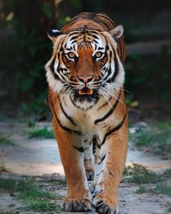 Indo Chinese tijger…